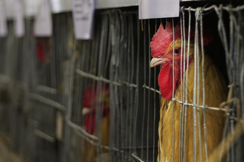 JVS image - Battery hens