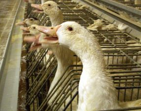 Geese used for foie gras