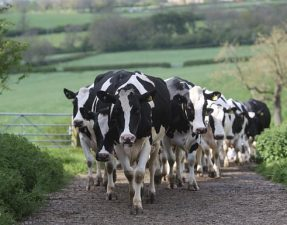 The number of dairy farms in Britain has plummeted to around 10,500 today Photo: Martin Pope/Telegraph