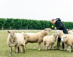 ians-sheep-7916