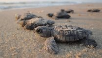 sea-turtles-livekindly-plant-based-news
